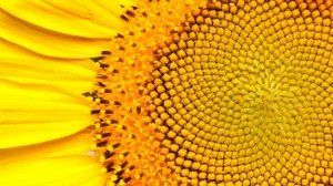 The Sunflower's Golden Ratio